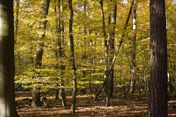 Buchenwald zur Herstellung von Holzfasern oder Baumfasern